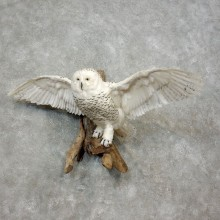 Reproduction Snow Owl Mount #17892 For Sale @ The Taxidermy Store