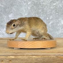 Richardson's Ground Squirrel Mount For Sale #22939 @ The Taxidermy Store