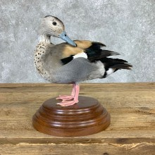 Ringed Teal Duck Bird Mount For Sale #22069 @ The Taxidermy Store