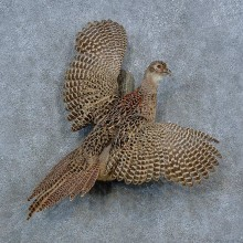 Ringneck Hen Pheasant Bird Mount For Sale #15433 @ The Taxidermy Store