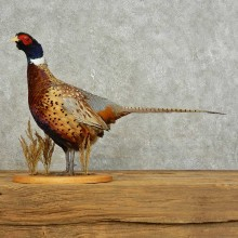 Ringneck Pheasant Bird Mount For Sale #15891 @ The Taxidermy Store