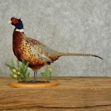 Ringneck Pheasant Bird Mount For Sale #15892 @ The Taxidermy Store