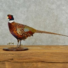 Ringneck Pheasant Bird Mount For Sale #16562 @ The Taxidermy Store