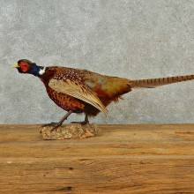 Ringneck Pheasant Bird Mount For Sale #16574 @ The Taxidermy Store