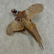 Ringneck Pheasant Bird Mount For Sale #16672 @ The Taxidermy Store
