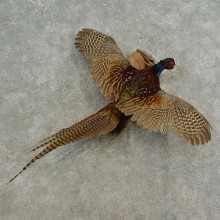 Ringneck Pheasant Bird Mount For Sale #16674 @ The Taxidermy Store