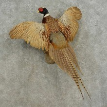 Ringneck Pheasant Bird Mount For Sale #16676 @ The Taxidermy Store