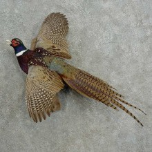 Ringneck Pheasant Bird Mount For Sale #16983 @ The Taxidermy Store