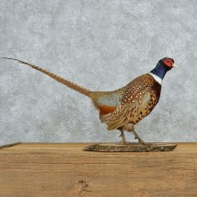 Standing Ringneck Pheasant Life-Size Taxidermy Mount #13050 For Sale @ The Taxidermy Store