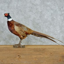 Standing Ringneck Pheasant Taxidermy #13062 For Sale @ The Taxidermy Store