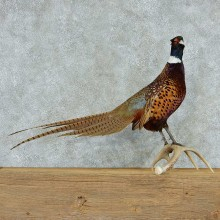 Ringneck Pheasant Life Size Taxidermy Mount #13347 For Sale @ The Taxidermy Store