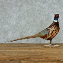 Standing Black Pheasant Life Size Mount #13620 For Sale @ The Taxidermy Store