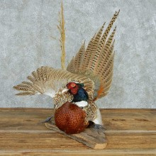 Laying Ringneck Pheasant Life Size Mount #13621 For Sale @ The Taxidermy Store