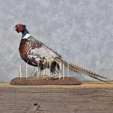 Ringneck Pheasant Bird Mount #11975 For Sale @ The Taxidermy Store