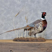 Ringneck Pheasant Bird Mount #11976 For Sale @ The Taxidermy Store