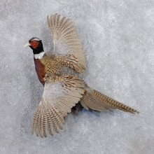 Ringneck Pheasant Bird Mount For Sale #18682 @ The Taxidermy Store