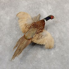 Ringneck Pheasant Bird Mount For Sale #18919 @ The Taxidermy Store