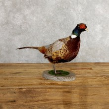 Ringneck Pheasant Bird Mount For Sale #19754 @ The Taxidermy Store
