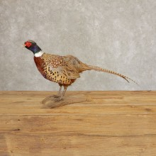 Ringneck Pheasant Bird Mount For Sale #21382 @ The Taxidermy Store