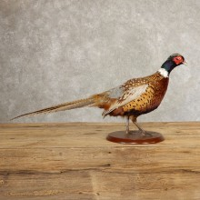 Ringneck Pheasant Bird Mount For Sale #21383 @ The Taxidermy Store