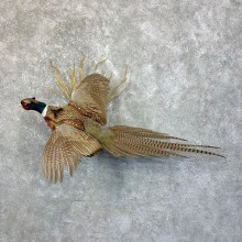 Ringneck Pheasant Taxidermy Bird Mount For Sale