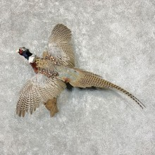 Ringneck Pheasant Bird Mount For Sale #25383 @ The Taxidermy Store