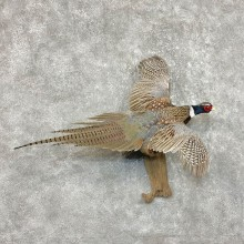 Ringneck Pheasant Bird Mount For Sale #25385 @ The Taxidermy Store