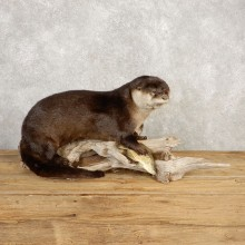 River Otter With Crappie Life-Size Mount For Sale #20398 @ The Taxidermy Store