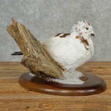 Rock Ptarmigan Bird Mount For Sale #16992 @ The Taxidermy Store