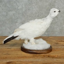 Rock Ptarmigan Bird Mount For Sale #16993 @ The Taxidermy Store