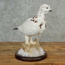 Rock Ptarmigan Bird Mount For Sale #16994 @ The Taxidermy Store