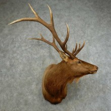 Rocky Mountain Elk Shoulder Mount For Sale #16753 @ The Taxidermy Store