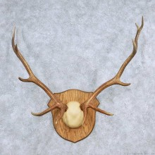 Elk Antler Taxidermy Mount For Sale #13929 For Sale @ The Taxidermy Store