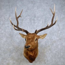 Rocky Mountain Elk Shoulder Mount For Sale #14236 @ The Taxidermy Store