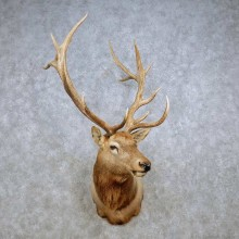 Rocky Mountain Elk Shoulder Mount For Sale #14267 @ The Taxidermy Store