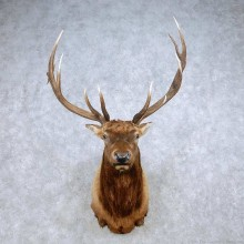 Rocky Mountain Elk Shoulder Mount For Sale #14324 @ The Taxidermy Store