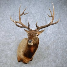 Rocky Mountain Elk Mount For Sale #15018 @ The Taxidermy Store