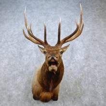 Rocky Mountain Elk Shoulder Mount For Sale #15041 @ The Taxidermy Store