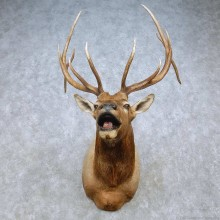 Rocky Mountain Elk Shoulder Mount For Sale #15062 @ The Taxidermy Store