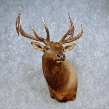 Rocky Mountain Elk Shoulder Mount For Sale #15098 @ The Taxidermy Store