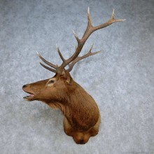 Rocky Mountain Elk Shoulder Mount For Sale #15101 @ The Taxidermy Store