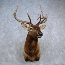 Rocky Mountain Elk Shoulder Mount For Sale #15681 @ The Taxidermy Store