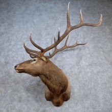 Rocky Mountain Elk Shoulder Mount For Sale #15683 @ The Taxidermy Store