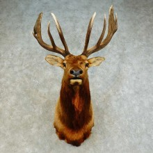 Rocky Mountain Elk Shoulder Mount For Sale #16279 @ The Taxidermy Store