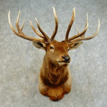 Rocky Mountain Elk Shoulder Mount For Sale #16380 @ The Taxidermy Store