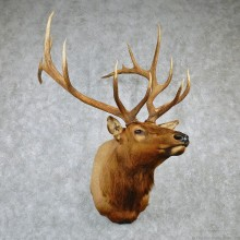 Rocky Mountain Elk Shoulder Taxidermy Head Mount #12603 For Sale @ The Taxidermy Store