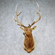 Rocky Mountain Elk Shoulder Taxidermy Head Mount #12605 For Sale @ The Taxidermy Store