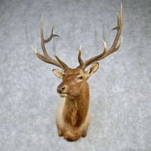 Rocky Mountain Elk Shoulder Taxidermy Head Mount #12607 For Sale @ The Taxidermy Store