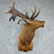 Rocky Mountain Elk Shoulder Taxidermy Head Mount #12738 For Sale @ The Taxidermy Store