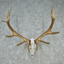 Elk Antler Taxidermy European Mount #12609 For Sale @ The Taxidermy Store